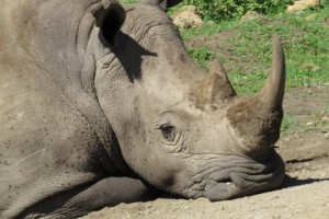 Critically endangered Rhino