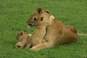 Lion cubs playing with mum