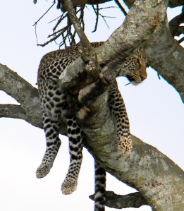 This leopard looks rather comfortable from his position high in the tree.